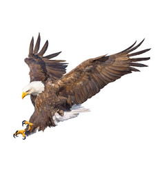 Bald eagle swoop attack hand draw and paint vector