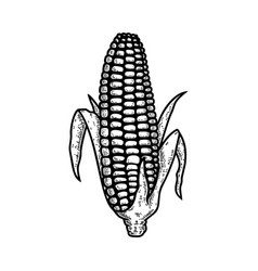 ear corn in engraving style design element vector image