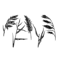reed hand drawn sketch vector image
