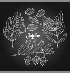 Graphic jojoba plant vector