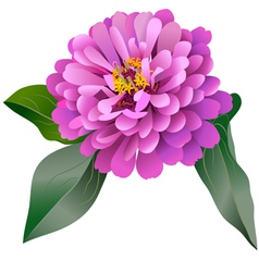 Realistic pink zinnia flower vector image