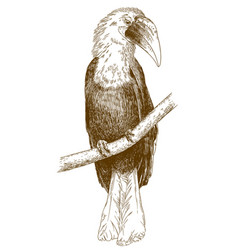 engraving of male papuan hornbill vector image