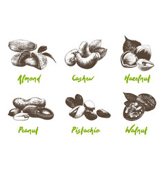 engraved style organic nuts collection vector image