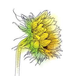 Ink and watercolor sunflower vector image vector image