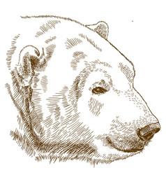 engraving drawing of polar bear head vector image