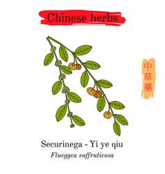 medicinal herbs of china securinega flueggea vector image