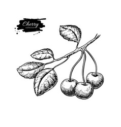 cherry on branch drawing isolated hand vector image
