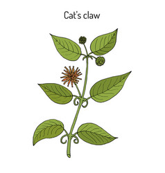 Cat s claw uncaria tomentosa or vilcacora vector