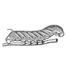 tobacco worm vintage vector image