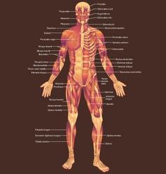Musculature anterior vector