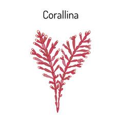 Orallina officinalis seaweed medicinal plant vector