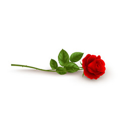 realistic red rose lying on white background vector image