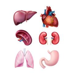 set human organs vector image