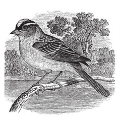 White crowned sparrow vintage vector