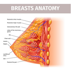 Woman breasts anatomy cross section close up view vector