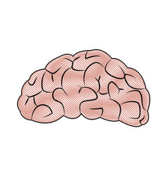 Drawing brain human organ part anatomy vector