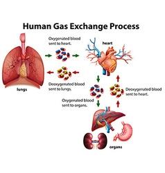 Human gas exchange process diagram vector image