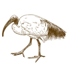 engraving of african sacred ibis vector image