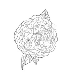 Contour sketch image austin rose flower vector