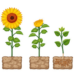 sunflowers growing from the ground vector image vector image