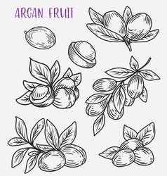 Branches with leaf of argan tree vegetarian food vector
