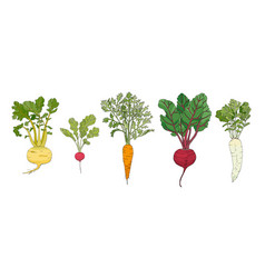 root vegetables vector image