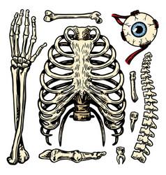 rib cage arm and eye and spine anatomy human vector image