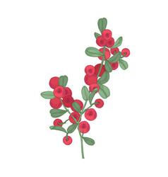 arctic lingonberries and leaves isolated on white vector image