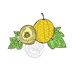 hand drawn honeydew fruits vector image