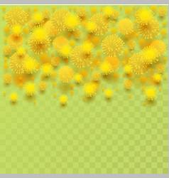 yellow mimosa acacia flower fluffy petals on vector image