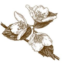 engraving of three jasmine flowers vector image vector image