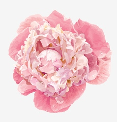 Pink peony vector image vector image