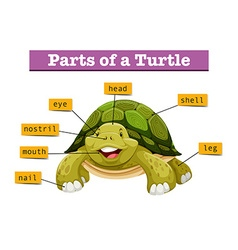 Diagram showing parts of turtle vector image