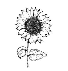 vintage black outline ink pen sketch of sunflower vector image