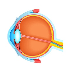Cross section of human eye vector image