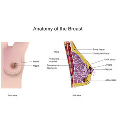 anatomy of the breast vector image vector image