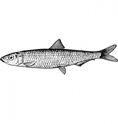 fish clupeonella vector image vector image