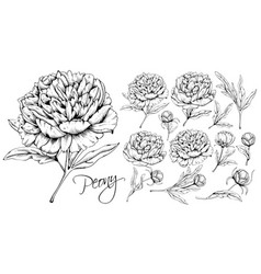 luxurious peonies set vector image
