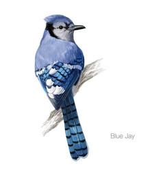 blue jay hand drawn vector image