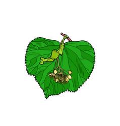 linden tree leaf vector image
