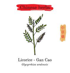 Medicinal herbs of china liquorice glycyrrhiza vector