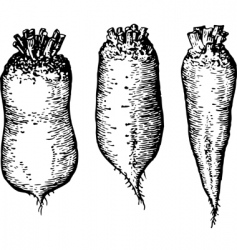 beetroots vector image vector image