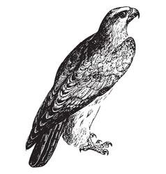Falcon vintage vector