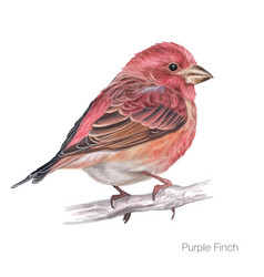 Purple finch hand drawing vector