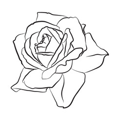 beautiful hand drawn sketch rose isolated black vector image vector image
