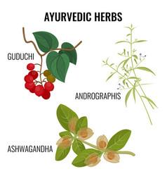 ashwagandha guduchi cordifolia andrographis vector image