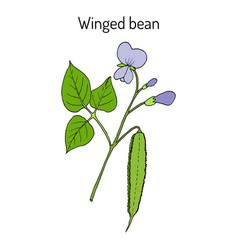 Winged bean psophocarpus tetragonolobus vector