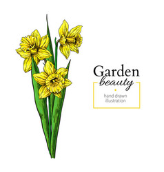 daffodil flower and leaves bouquet drawing vector image