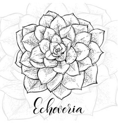 Hand drawn echeveria cacti vector