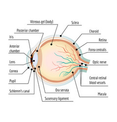 human eye section infographic cartoon style vector image
